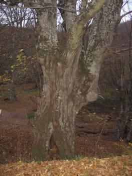 Странджа, старите дървета