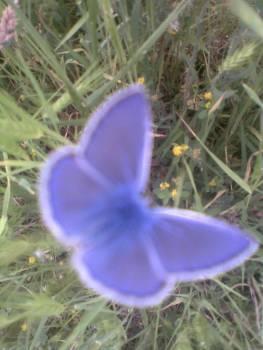 Синята пеперудка