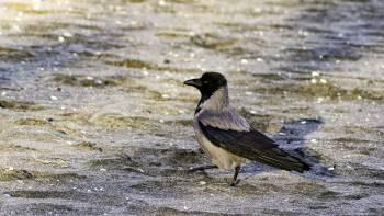 Храбрая ворона