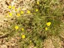 Жълто подрумиче